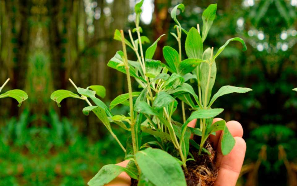 Origen de la Stevia
