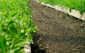 Puntos para tener en cuenta las generalidades del cultivo de stevia
