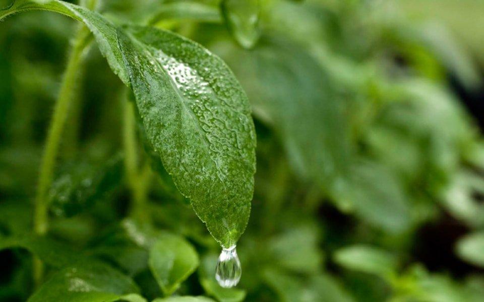 La Stevia y sus propiedades